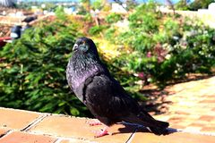 Pigeon color? photos stock