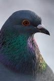 Pigeon - Columba livia Stock Photography
