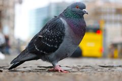 Pigeon sitting on the cobblestone pavement in front of a yellow bus in berlin Royalty Free Stock Images
