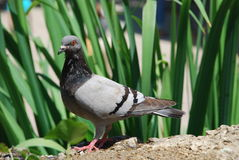 Pigeon (Columba livia f. domestica) Royalty Free Stock Photography