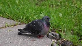 Pigeon Columba livia stay on on the sidewalk. Footage movie. Pigeon Columba livia stay on on the sidewalk. HD Footage movie static camera stock footage