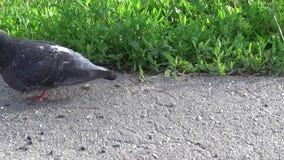 Pigeon Columba livia walking on on the sidewalk. Footage movie. Pigeon Columba livia walking on on the sidewalk. HD Footage movie static camera stock footage