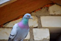 Pigeon Columba palumbus closeup stock photos