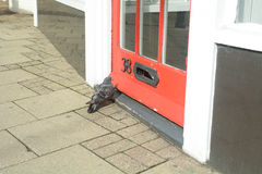 Pigeon (Columbidae) trying to enter shop Royalty Free Stock Image