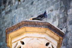 Pigeon on column Royalty Free Stock Photo