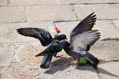 Pigeon combattant dans le temps de jour dans le temps de jour Images stock