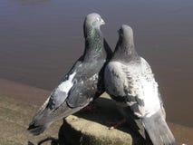 Pigeon couple Stock Photos
