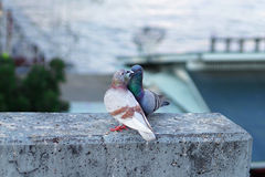 Pigeon couple Stock Images