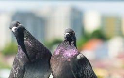 Pigeon Couple `Columba livia domestica` stock images