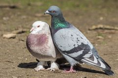 Pigeon couple mating in early spring royalty free stock image