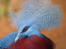 Pigeon couronné images libres de droits