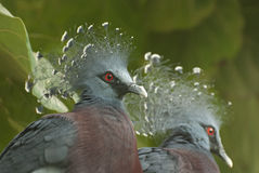 Pigeon couronné occidental (cristata de Goura) Images stock