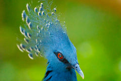 Pigeon couronné par Victorian Image stock