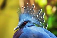 pigeon couronné Victoria de goura Images stock