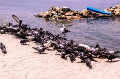 Pigeon Covey By The Blue Sea - Turkey. Flock of pigeons by the sea in a bright and sunny day with blue ocean surface on the background. Photo taken at: 2018-06 royalty free stock photography