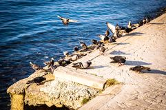 Pigeon Covey By The Blue Sea - Turkey. Flock of pigeons by the sea in a bright and sunny day with blue ocean surface on the background stock image