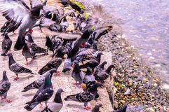 Pigeon Covey By The Blue Sea - Turkey. Flock of pigeons by the sea in a bright and sunny day with blue ocean surface on the background royalty free stock image