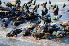 Pigeon Covey Royalty Free Stock Photo