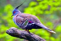 Pigeon crêté Photos stock