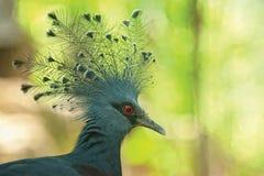 Pigeon crêté Photos libres de droits
