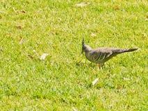 Pigeon crêté australien photos libres de droits
