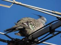 Pigeon crêté sur l'antenne image stock