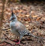 Pigeon crêté sur penser à l'avenir au sol image libre de droits