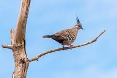 Pigeon crêté sur une branche Photographie stock