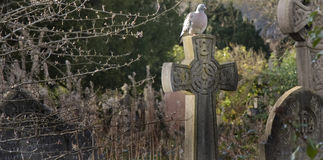 Pigeon on the Cross. Pigeon perches on the forgotten gravestones of the city cemetary Royalty Free Stock Image