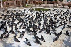 Pigeon Crowd Stock Photo