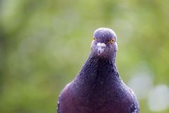 Pigeon, culver bird frontal portrait Stock Image