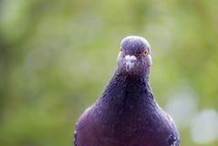 Pigeon, culver bird frontal portrait stock image