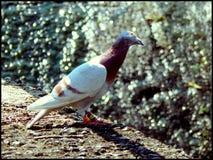 Pigeon curieux Images libres de droits