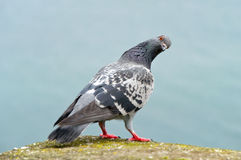 Pigeon curious Stock Images