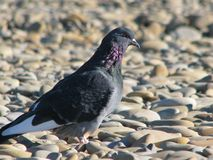 Pigeon curious against the background of gray sea stones. A bird pigeon on a sunny spot on the rocks basks on the Sun Stock Photography