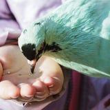 Pigeon d'alimentation des enfants, alimentation de main Photo stock