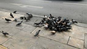 Pigeon d'alimentation sur le sentier piéton Photographie stock libre de droits