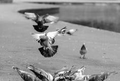Pigeon d'atterrissage en parc A3 Photos stock