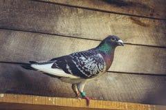 Pigeon d'emballage à l'intérieur d'un grenier Image libre de droits