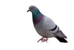 Pigeon d'isolement Photo stock
