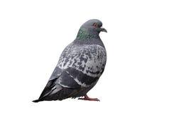 Pigeon d'isolement sur le blanc Photo libre de droits