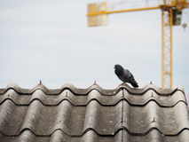 Pigeon d'isolement sur le toit sale Photo stock