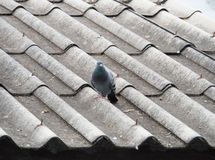 Pigeon d'isolement sur le toit sale Photos stock