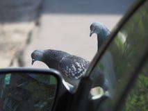 Pigeon d'oiseau sur le capot de la voiture pr?s du miroir photo libre de droits