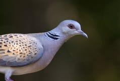 Pigeon d'oiseau (turtur de Streptopelia) Photo stock