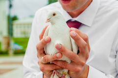Pigeon dans des mains Photographie stock
