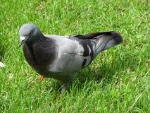 Pigeon dans l'herbe Image libre de droits