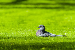 Pigeon dans l'herbe fraîche de ressort au soleil Images stock