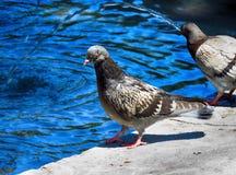 Pigeon dans la fontaine Image stock
