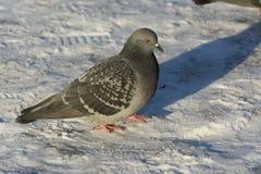 Pigeon dans la neige Photo libre de droits